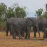 Elephants in Queen Elizabeth National Park