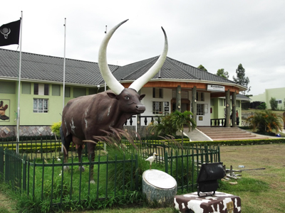 Ankore long horned cattle