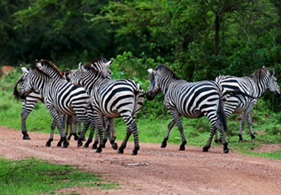 Zebras In Lake Mburo National Park