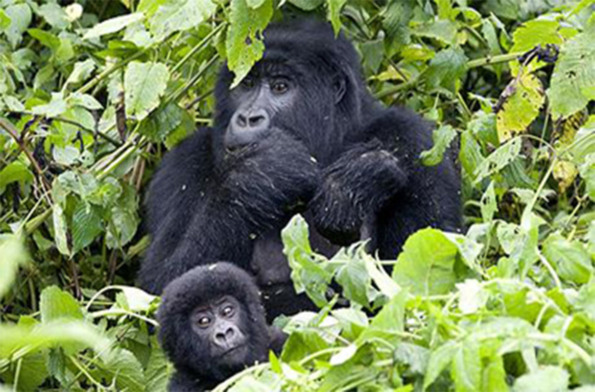 Gorillas The Largest Primate Family