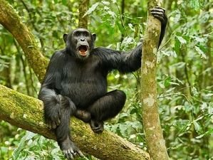 3 Days Kibale Chimpanzee Tour